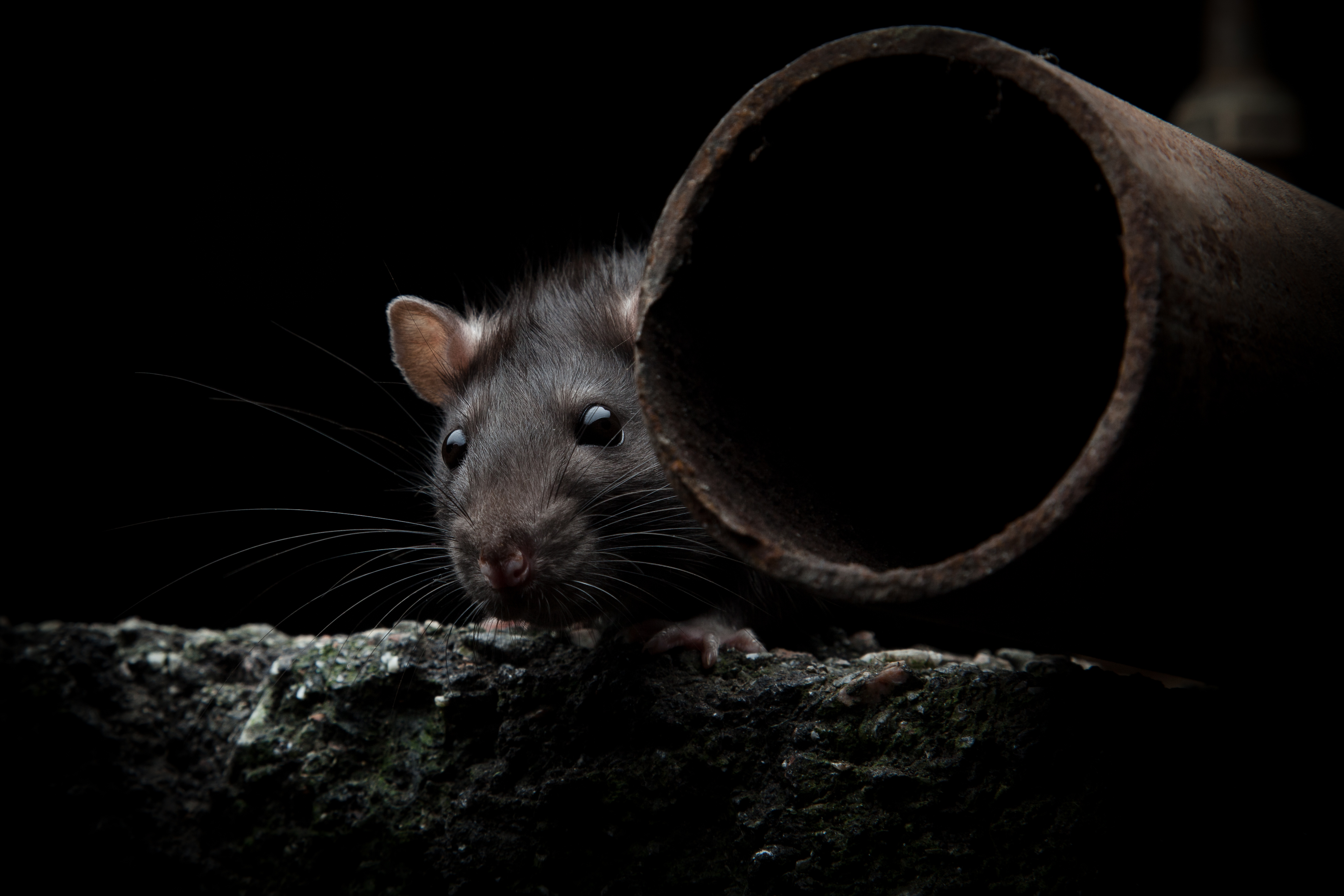 New Drain Doctor Service Keeps Rats From Up The Drain